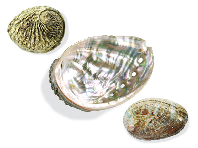 Meerohr, Abalone, lat. Haliotis