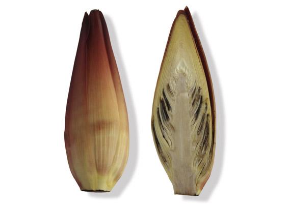 Bananenblüte (lat. Musa spp.)