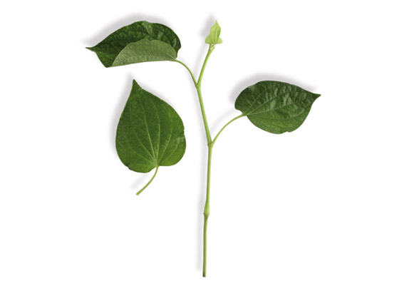 Cha Plu Blätter (lat. Piper sarmentosum)