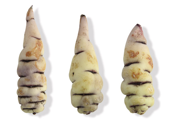Knollige Kapuzinerkresse oder Cubios (lat. Tropaeolum tuberosum)