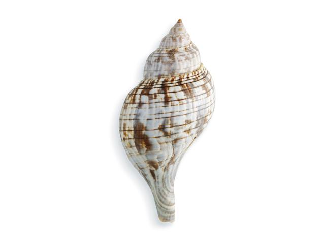 Echte Tulpenschnecke, lat. Fascilariidae