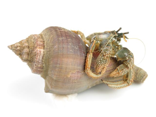 Einsiedlerkrebs, lat. Eupagurus bernhardus