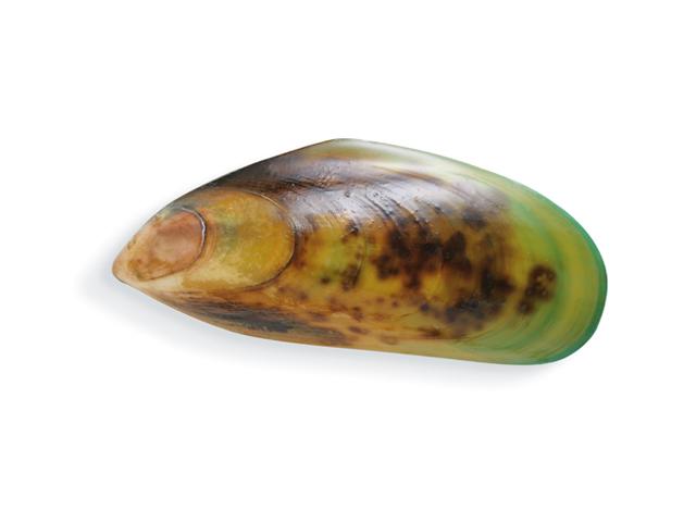 Grünschalenmuschel, lat. Perna canaliculus