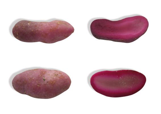Knolliger Sauerklee oder Ibia (lat. Oxalis tuberosa)