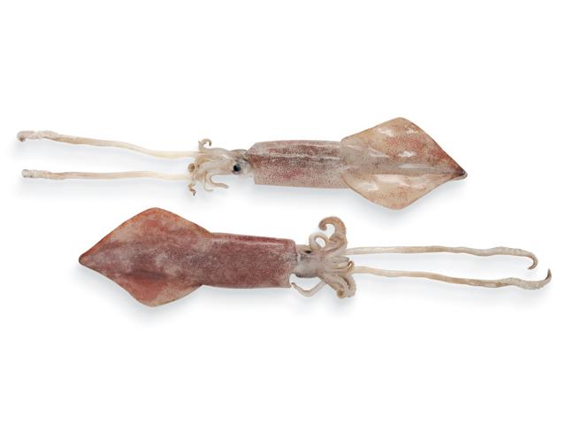 Kalmar, lat. Loligo vulgaris