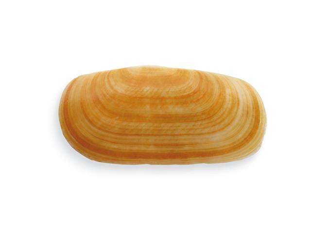 Kurze Scheidenmuschel, lat. Solecurtus strigilatus