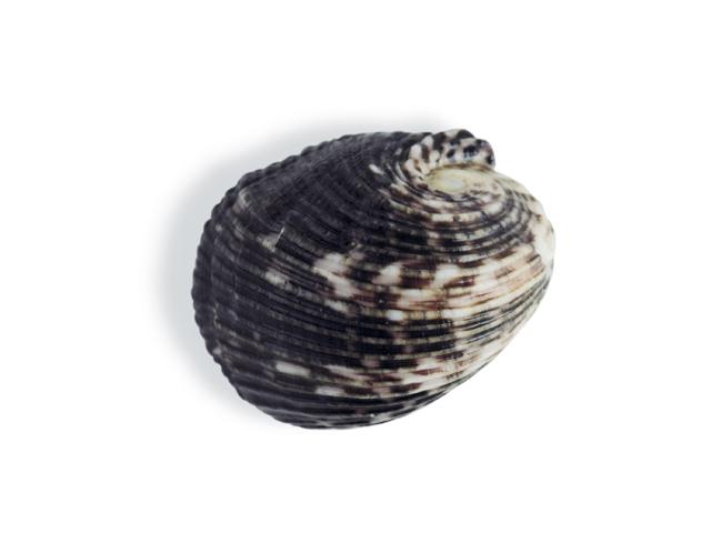 Nixenschnecke, lat. Neritidae