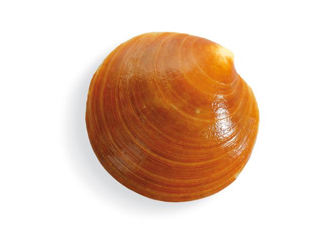 Nordische Venusmuschel, lat. Dosinia exoleta