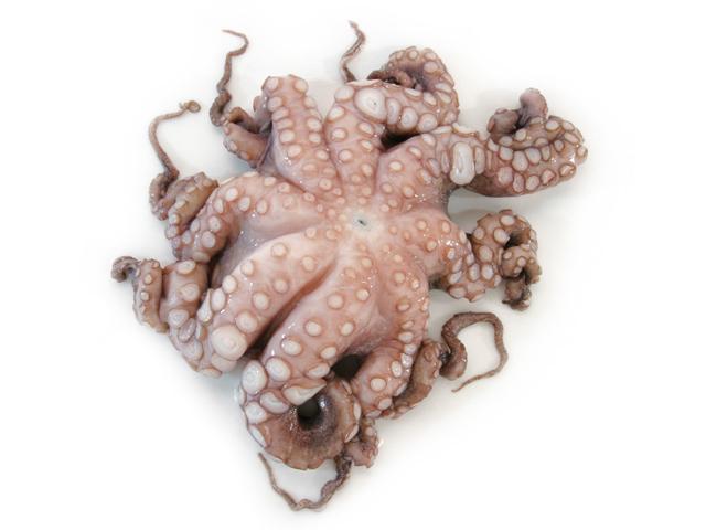 Oktopus, lat. Octopus vulgaris