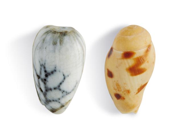 Randschnecken, lat. Marginellidae