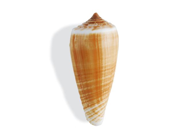 Ringkegelschnecke, lat. Conus circunncisus