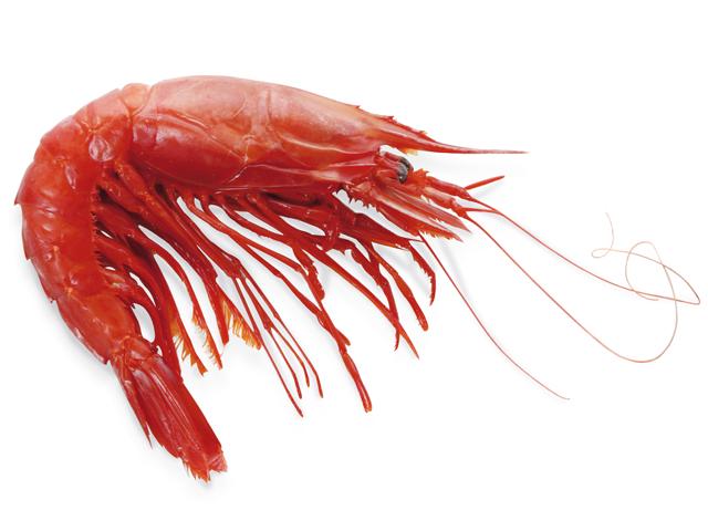 Rote Riesengarnele, oder Carabiniera, lat. Plesiopenaeus edwardsianus