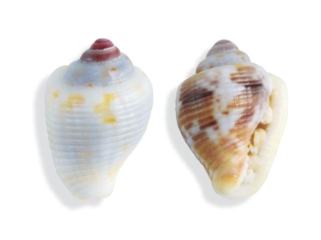 Gemeine Täubchenschnecke, lat. Columbella mercatoria