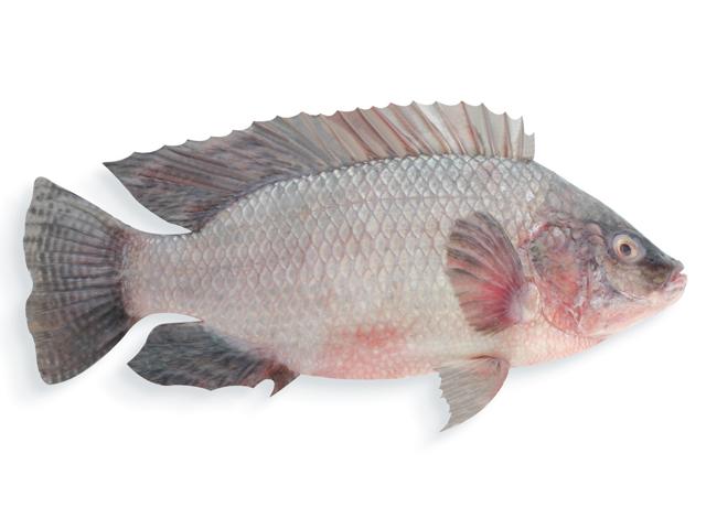 Tilapia. lat. Oreochromis niloticus
