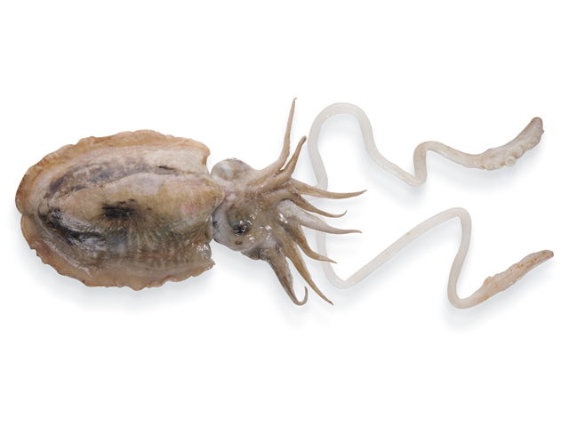 Tintenfisch, lat. Sepia officinalis