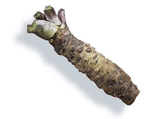 Wasabi (lat. Wasabia japonica)