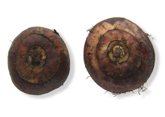 Wasserkastanien (lat. Eleocharis dulcis)