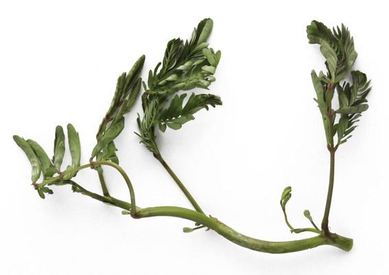 Wassermimose (lat. Neptunia oleracea)