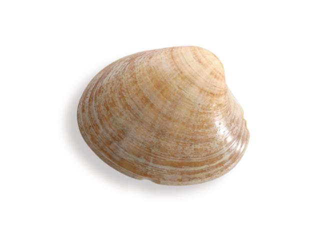 Weiße Trogmuschel, lat. Mactra corellina