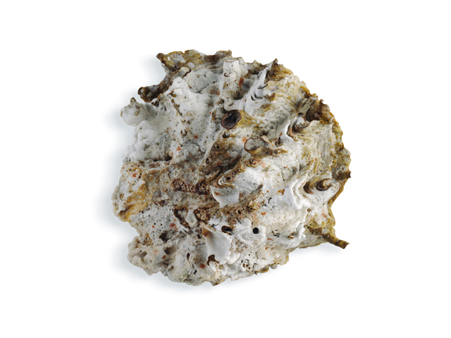 Zackenauster, lat. Hyotissa hyotis