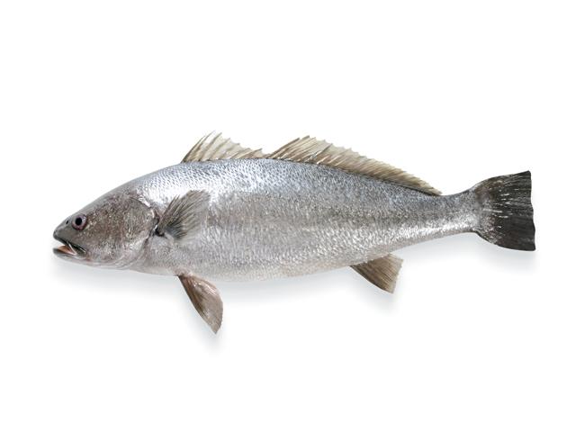 Der Adlerfisch, lat. Argyrosomus Regius