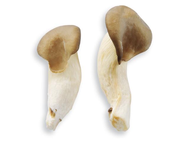 Austernpilz oder Mini-Austernseitling, lat. Pleurotus ostreatus