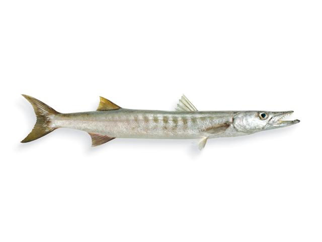 Großer Barrakuda, Hornhecht, lat. Sphyraena barracuda