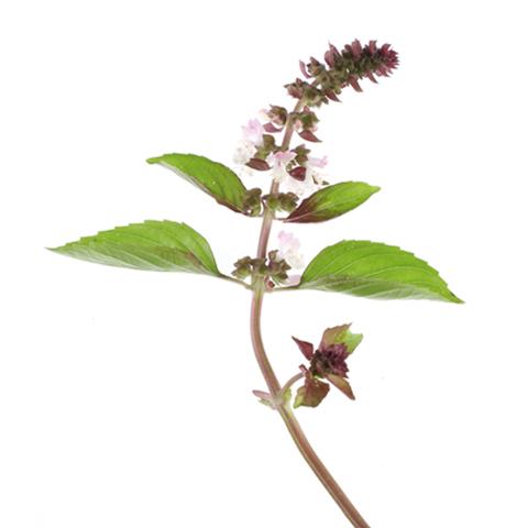 Basilikum Blüte