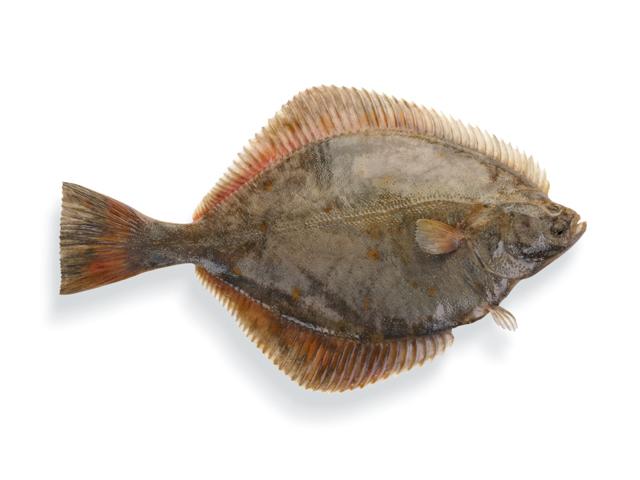 Flunder, lat. Pleuronectus platessa
