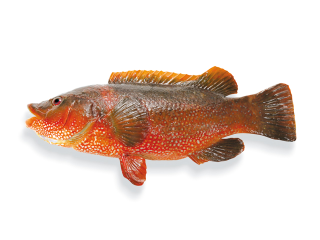 Gefleckter Lippfisch, lat. Labrus bergylta