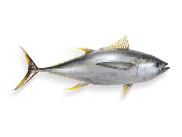 Der Gelbflossenthunfisch, lat. Thunnus albacares