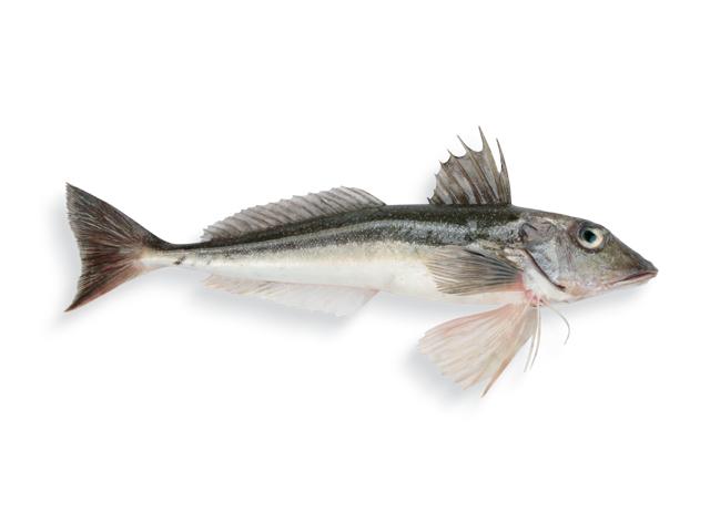 Grauer Knurrhahn, lat. Eutrigla gurnardus
