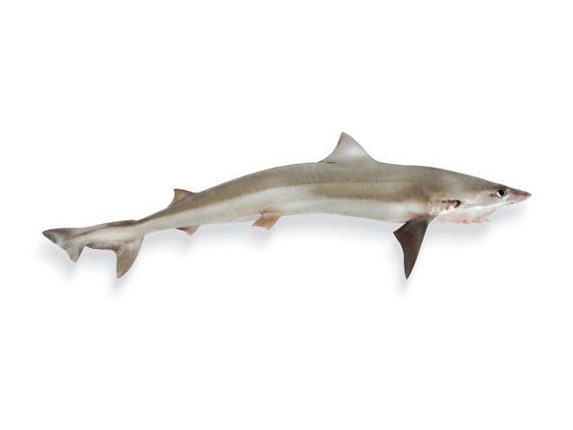 Hundshai, Grundhai, Biethai, lat. Galeorhinus galeus