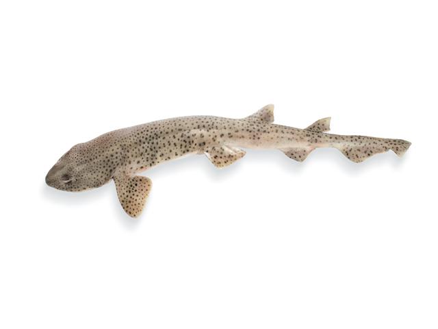 Katzenhai, lat. Scyliorhinus canicula