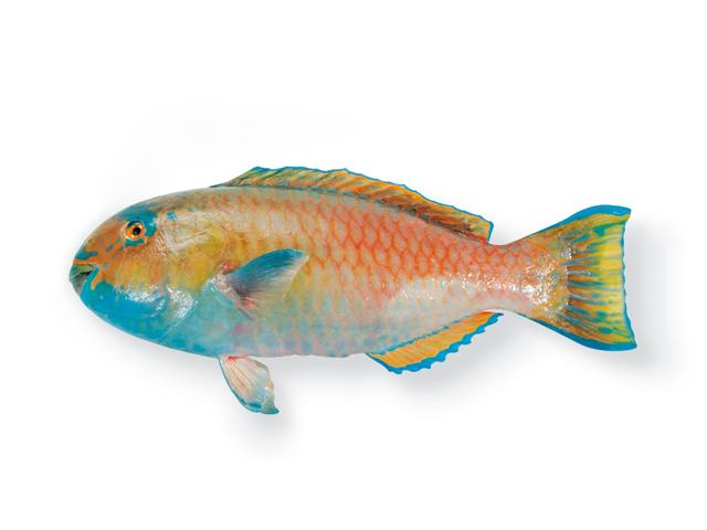 Kugelkopf-Papageienfisch, lat. Scarus sordidus