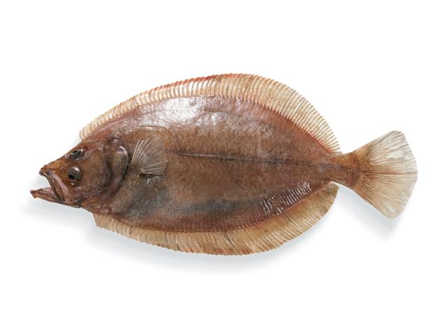 Lammzunge, lat. Arnoglossus laterna