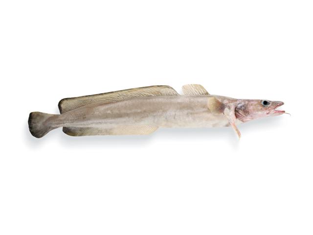 Lengfisch, lat. Molva molva