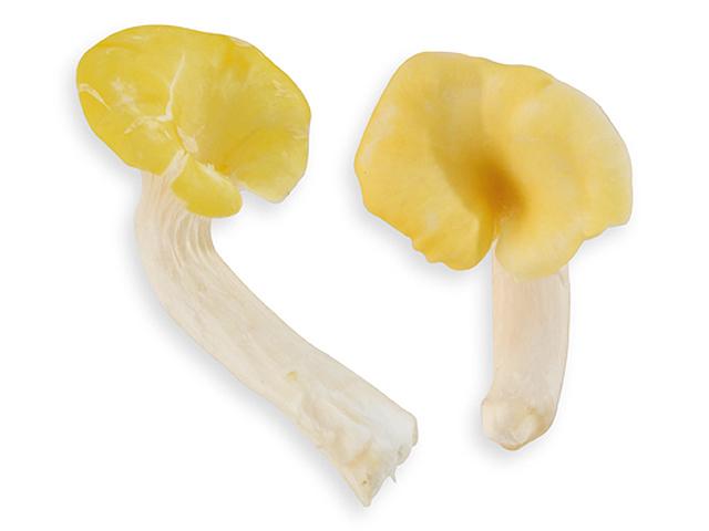 Limonenseitling, lat. Pleurots citrinopileatus