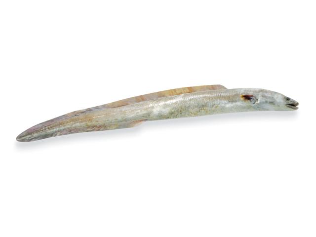 Der Meeraal, lat. Conger Conger