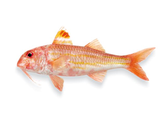 Die Rote Meerbarbe, lat. Mullus barbatus
