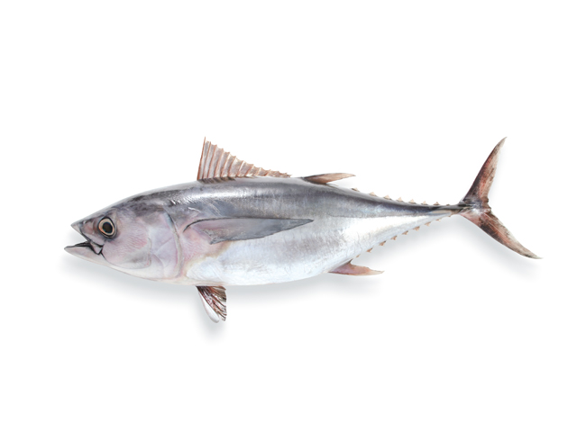 Roter Thunfisch, lat. Thunnus thynnus