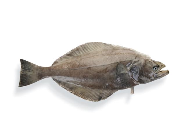 Schwarzer Heilbutt, lat. Reinhardtius hippoglossoides