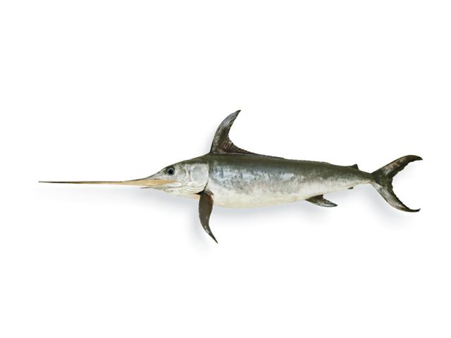 Schwertfisch, lat. Xiphias gladius