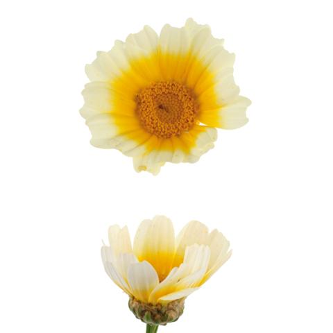 Speise-Chrysantheme