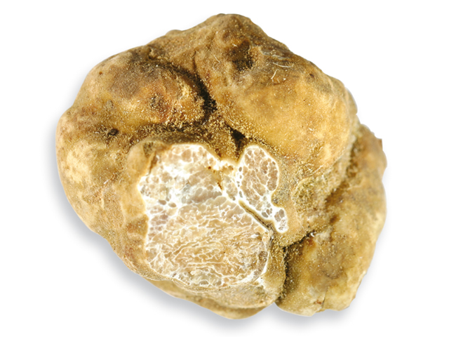 Weißer Trüffel, lat. Tuber magnatum